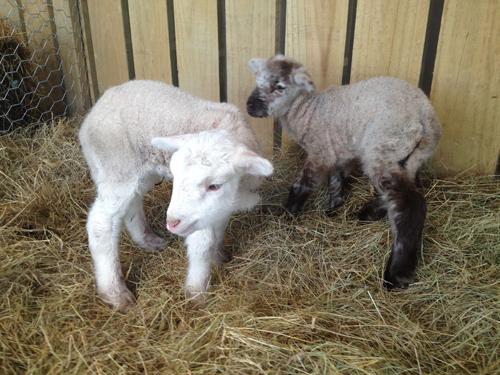 羊の国のラブラドール絵日記シニア!!「子羊は突然に!」4