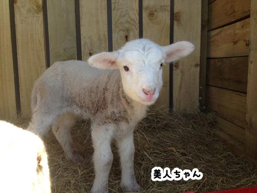 羊の国のラブラドール絵日記シニア!!「One in a million」1