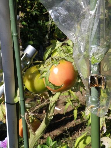 tomato22.jpg