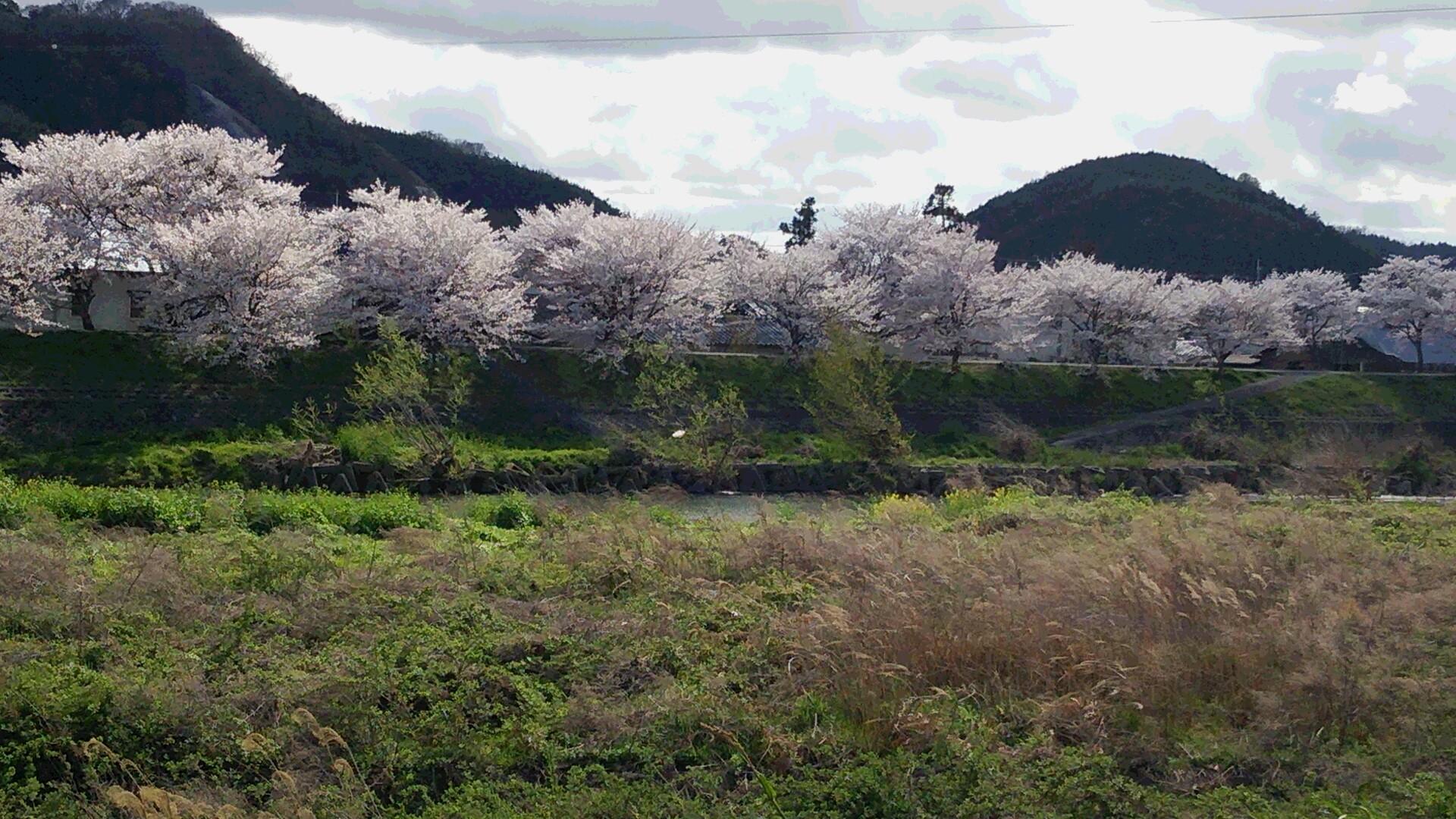 2014  桜1