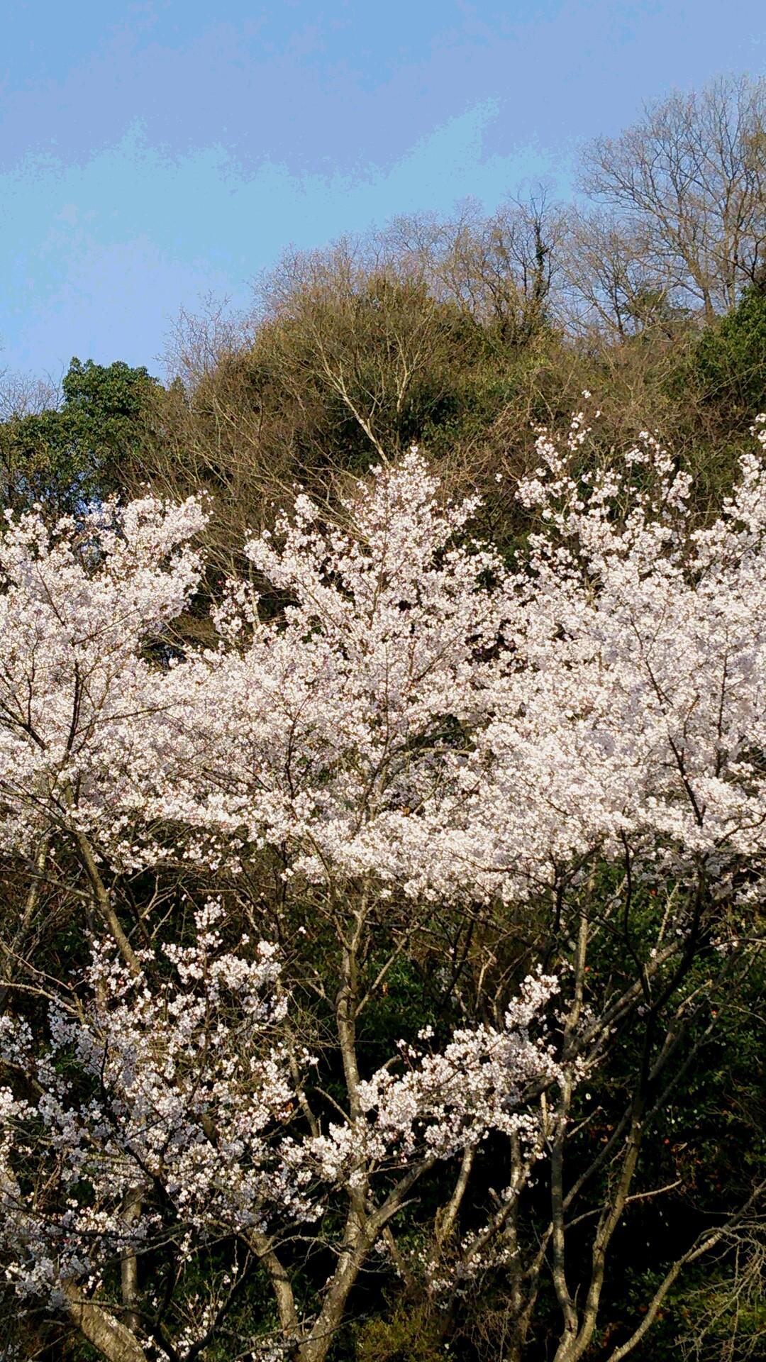 2014 桜3