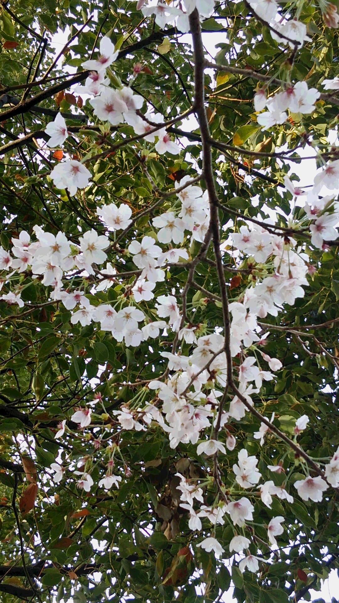 2014 桜4