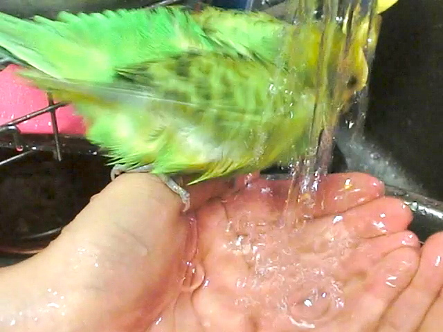 ピカちゃん水浴び1
