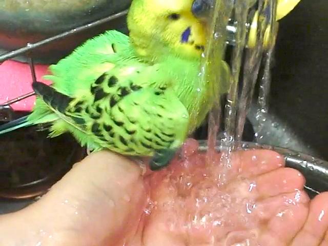 ピカちゃん水浴び2