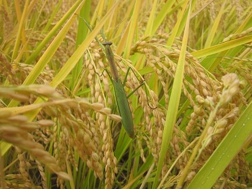 稲とカマキリ