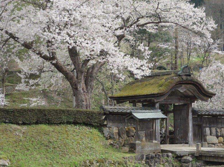 桜130DSC04415