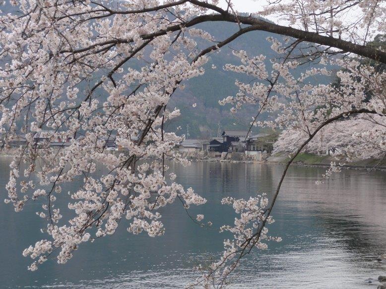 桜430DSC04386