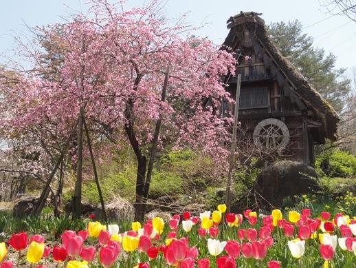 ⑥20桜とチューリップDSC00312