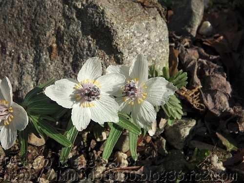 小さな花と2枚の葉と短い茎のセツブンソウ
