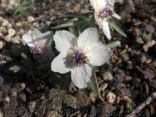 キンポウゲ科らしく光が当たるときれいなセツブンソウの花