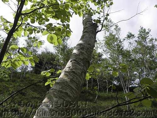 近畿では自生していないシラカンバの人工林[神戸市立森林植物園]