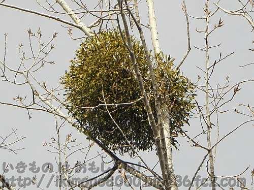 まるまると茂っていた2011年2月のヤドリギ