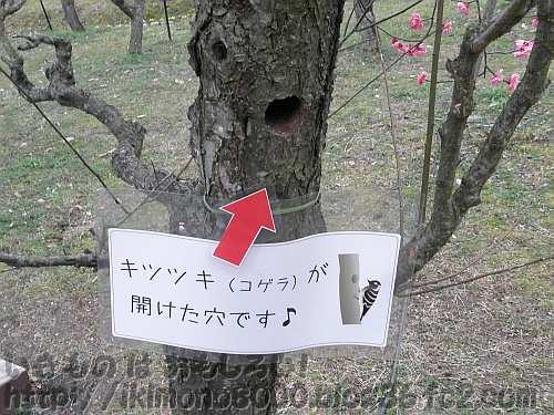 キツツキが開けた梅の木の穴