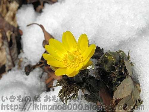 雪の中で咲くフクジュソウの花