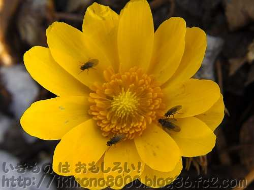 フクジュソウの花に集まってきた啓蟄のコバエ(ちはや園地)