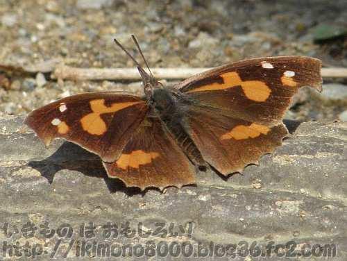 成虫で越冬するテングチョウ(近つ飛鳥風土記の丘)