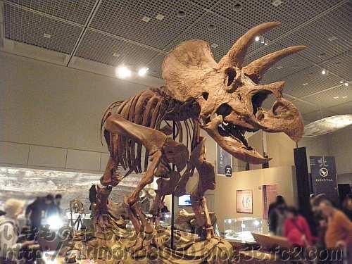 ど~んと立ってるトリケラトプスの全身復元骨格