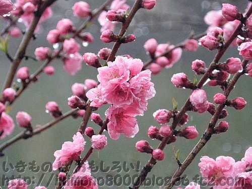 雨水が滴る桃