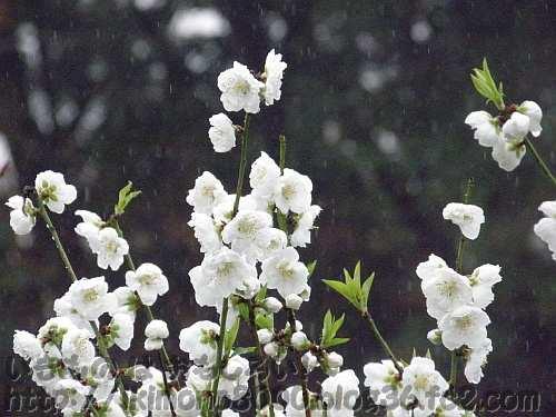 雨が降る中の桃
