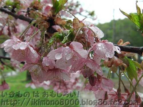 見頃の河津桜