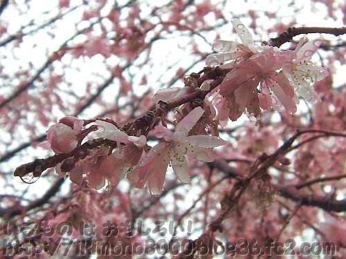 そろそろ終わり?の十月桜