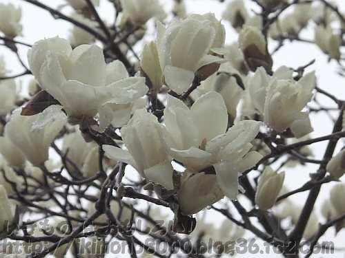 雨の中でもきれいな白木蓮