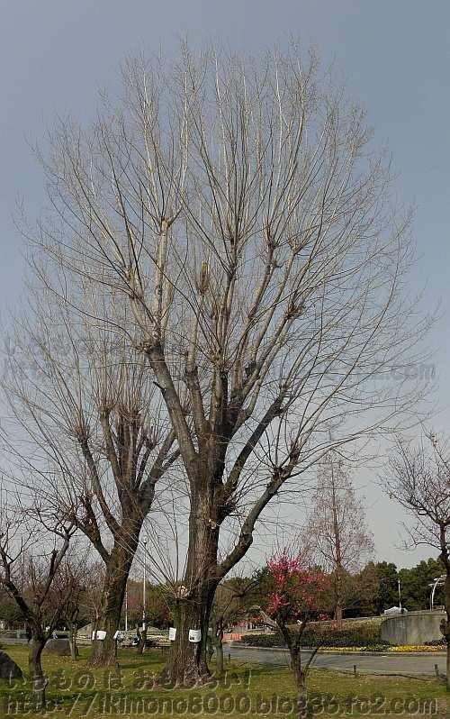 久宝寺緑地の年老いた西洋箱柳(2014年2月)
