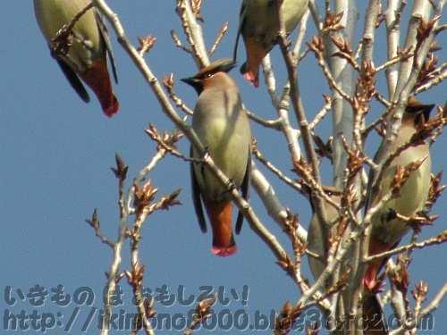 尾羽根の内側も赤いヒレンジャク