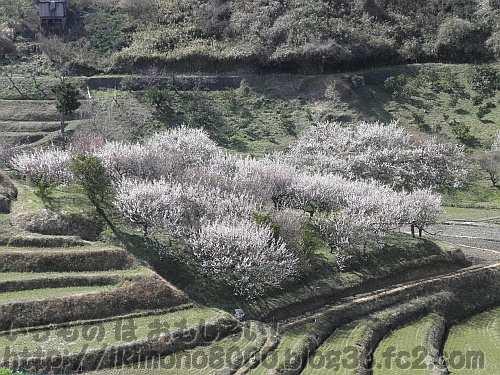 梅満開の3月下旬の下赤阪の棚田
