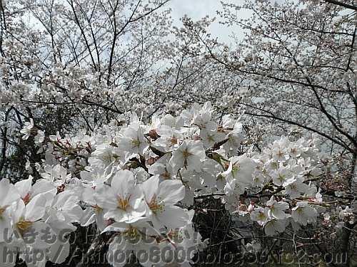 斜面なので桜をこんな近くで見ることができます