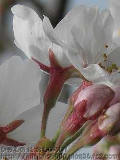 ソメイヨシノの萼
