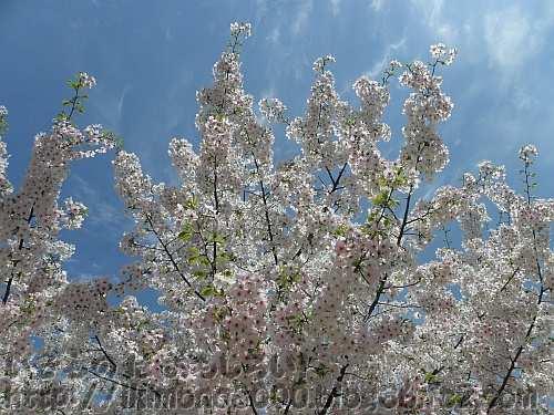 ソメイヨシノのような淡いピンク色のニオイザクラ