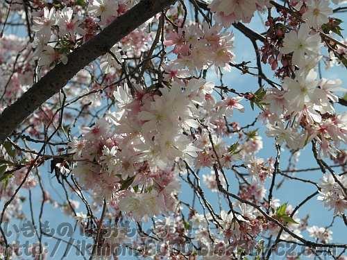 今が盛りのように咲いているジュウガツザクラ