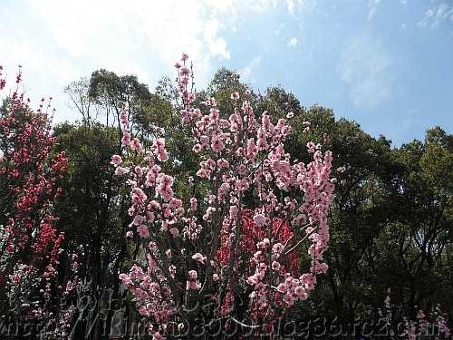 ホウキセイハナモモのピンク