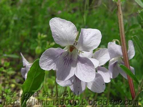 花の形はタチツボスミレ