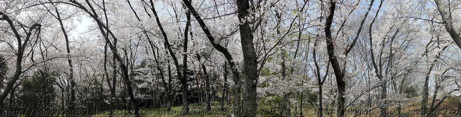 西山霊園の桜