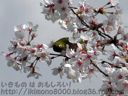桜の花といえば常連のメジロ