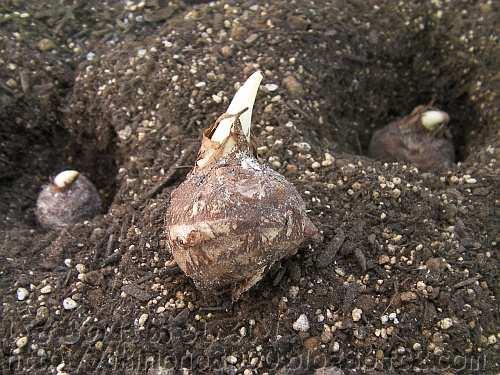 もう芽をのばしはじめているタルサトイモの種芋