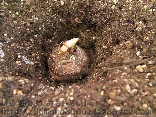 新しい土に埋める前の種芋