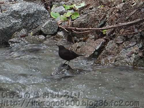 カワガラスかミソサザイと思しき黒い鳥