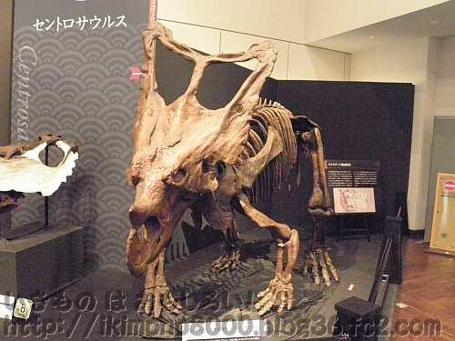 額の2本の角よりもフリルが大きくなったカスモサウルス