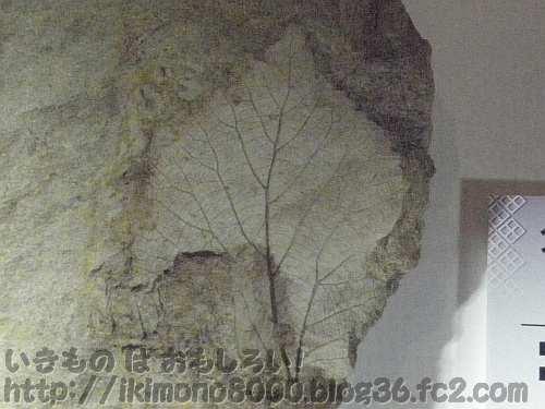 トリケラトプと同じ時代同じ場所で見つかった被子植物の葉