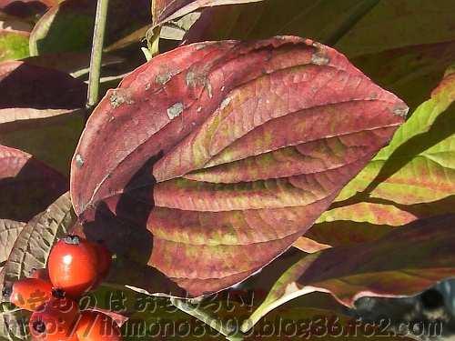 葉脈が特徴的な現在のミズキ属ハナミズキの紅葉