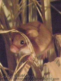 カヤネズミ(萱鼠)