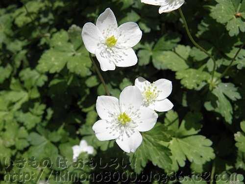 キンポウゲ科特有の質感の花びら