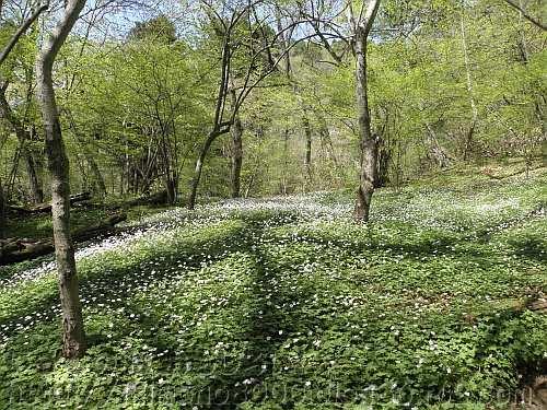 落葉樹林の中のニリンソウ