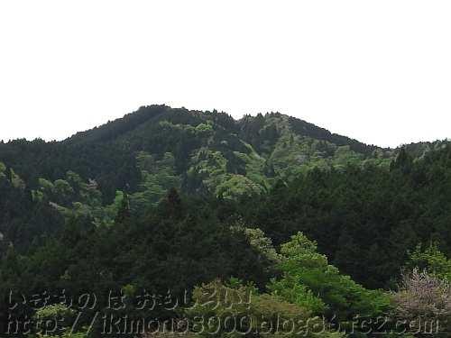 金剛山山頂が桜の季節は新緑の季節でもあります