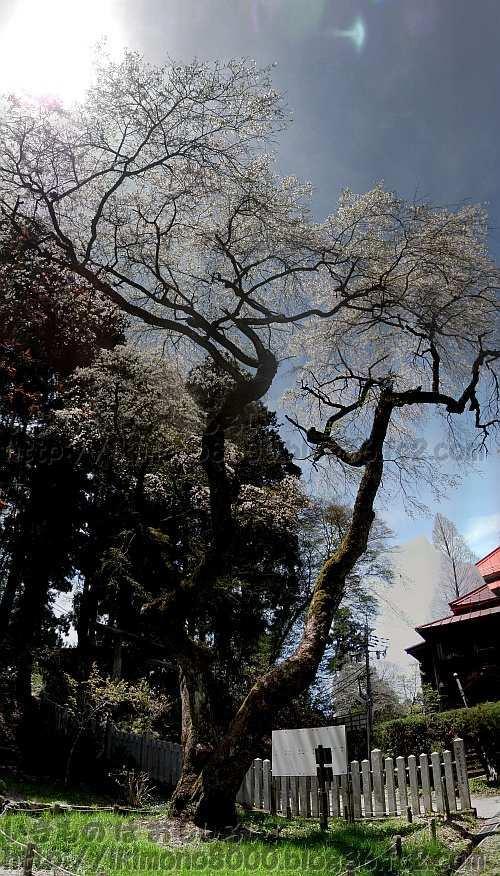 金剛山山頂転法輪寺のしだれ桜(2014年5月)