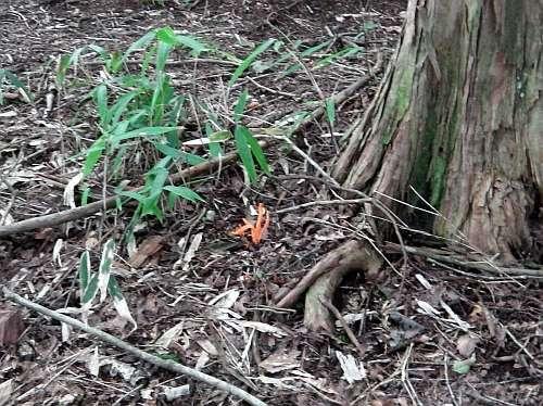 林床のカエンタケ?