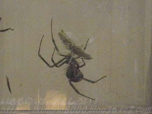 生きている実物のセアカゴケグモ